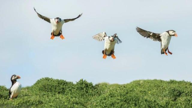 435363-puffins-flying-on-the-isle-of-may-sftr-do-not-use